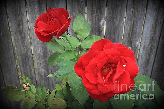 Red Country Roses by Dora Sofia Caputo Photographic Design and Fine Art