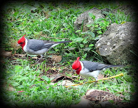 Red Crested Cardinal on Oahu by Joy Patzner