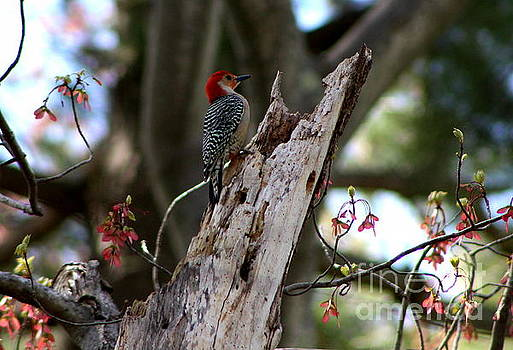 Red Crested  Woodpecker by Lennie Malvone