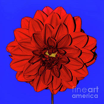 Red Dahlia on Blue by Kaye Menner by Kaye Menner
