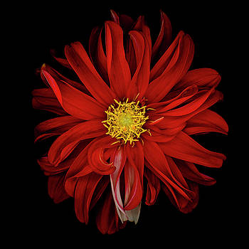 Red Dahlia by Oscar Gutierrez