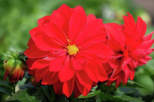 Red Dahlia by Ronda Ryan