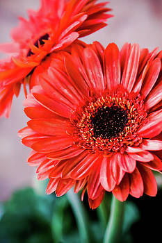 Red Daisies by SR Green