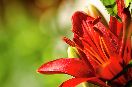 Red Day Lilly by Carl Nielsen
