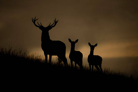 Red Deer at dawn by Andy Beattie Photography