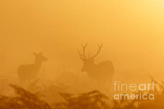 Red Deer at sunrise by Paul Farnfield