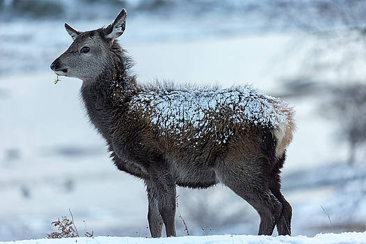 Red Deer Hind In The Snow by Derek Beattie