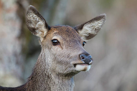 Red Deer Hind - Scottish Highlands by Karen Van Der Zijden