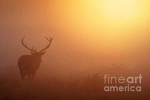 Red Deer Stag at sunrise by Paul Farnfield