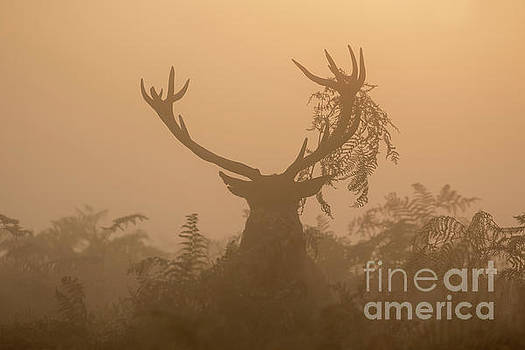 Red Deer stag Cervus elaphus displaying at sunrise with bracken on antlers by Paul Farnfield