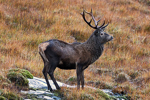 Red Deer Stag in Autumn by Derek Beattie