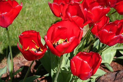Red delicious Tulips by Mary Gaines