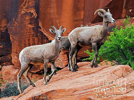 Red Desert Ewes by Mike Dawson
