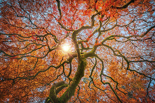 Red Dragon Japanese Maple in autumn colors by William Lee