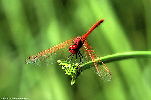 red Dragonfly . by Isaac Silman