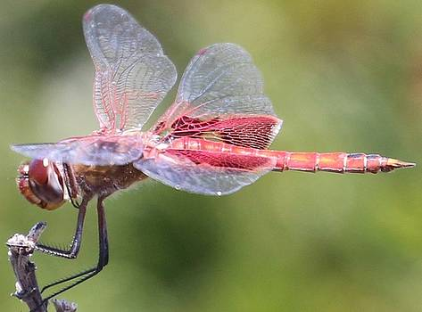 Gary Canant - Red Dragonfly 2