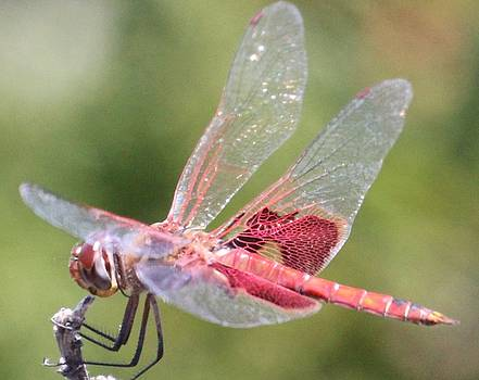 Gary Canant - Red Dragonfly 3