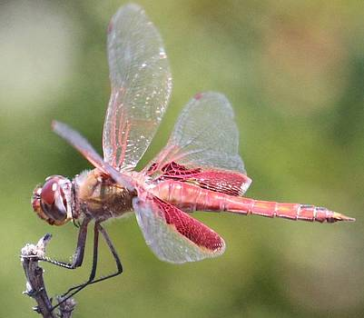 Gary Canant - Red Dragonfly 4