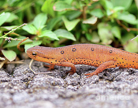 Red Eft - Close Up by Kerri Farley
