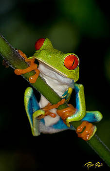 Rikk Flohr - Red-eyed Green Tree Frog Hanging On