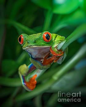 Red Eyed Tree Frog by Yasar Ugurlu