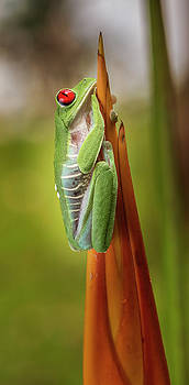 Red-Eyed Treefrog Costa Rica by Joan Carroll