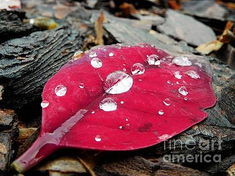 Red Fall Leaf by Chad and Stacey Hall