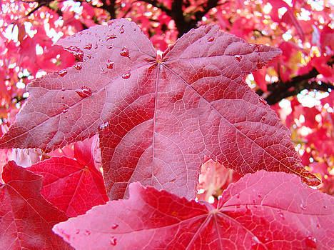 Baslee Troutman - Red Fall Tree Leaves art prints Nature Baslee Troutman
