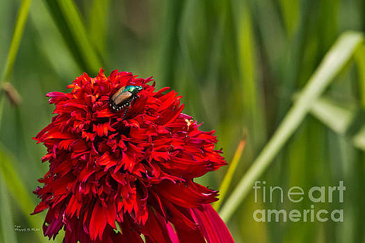 Red Flower and beetle by Ms Judi
