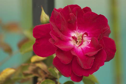 Red Flower by Carol Tsiatsios