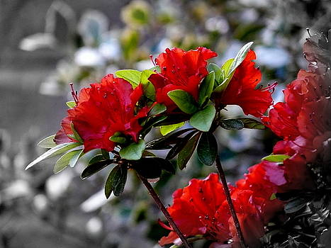 Red flowers by Aron Chervin