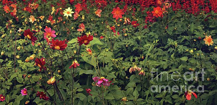 Svetlana Sewell - Red Flowers Field