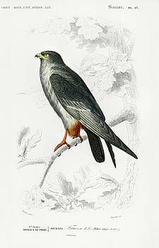 Red-footed Falcon  - Falco rufipes by Charles Hovey