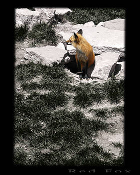 TNT Images - Red Fox - 300180