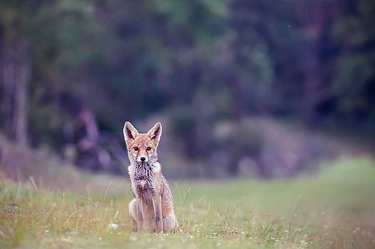 Red Fox - Blue Hour by Roeselien Raimond