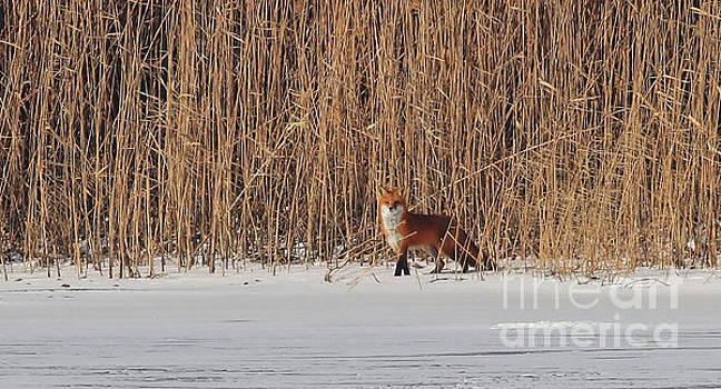 Red Fox by Debbie Parker