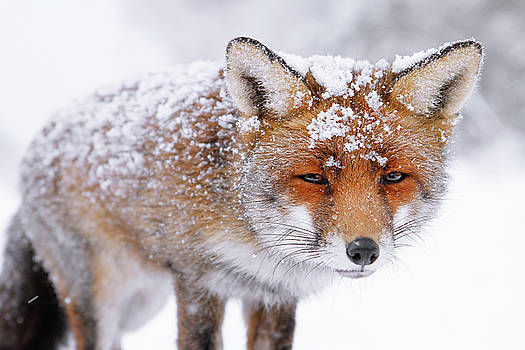 Red Fox Face in the Snow by Roeselien Raimond