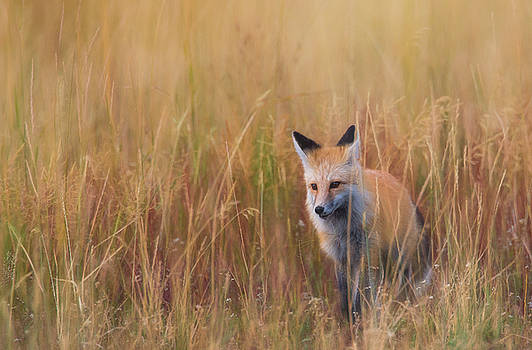 Red Fox Hunting  by Kelly Marquardt