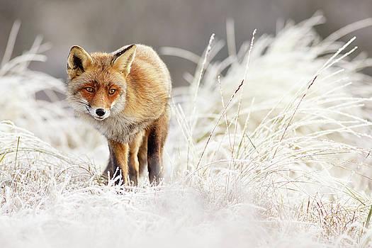 Red Fox in a winter landscape by Roeselien Raimond