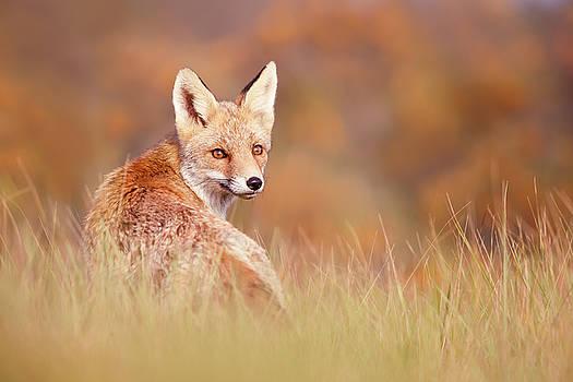 Red Fox in Autumn Scene by Roeselien Raimond