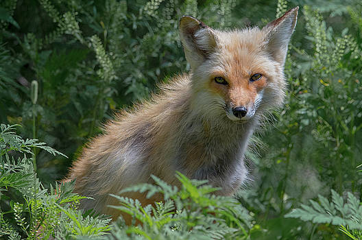 Red Fox in the Ferns by Jesse MacDonald