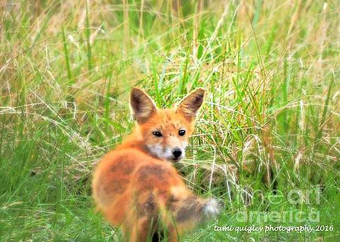 Tami Quigley - Red Fox In The Late Summer Grass