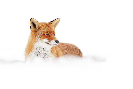 Red Fox in White Landscape by Roeselien Raimond