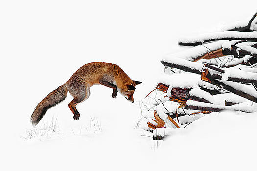 Red Fox Jumping in the Snow by Roeselien Raimond