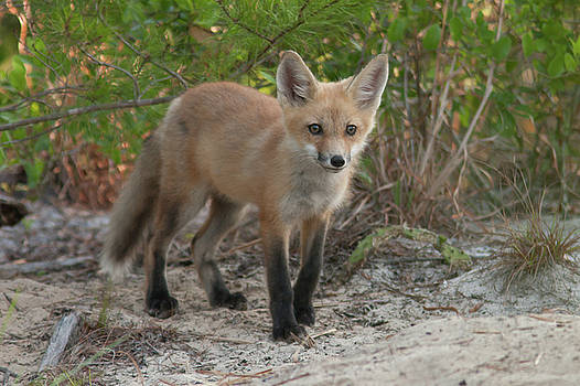Red Fox Kit by Paul Rebmann