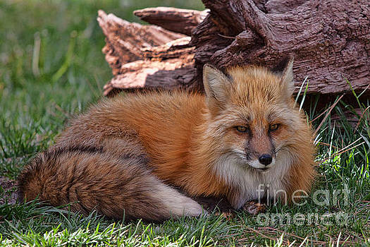 Red Fox by Laurinda Bowling