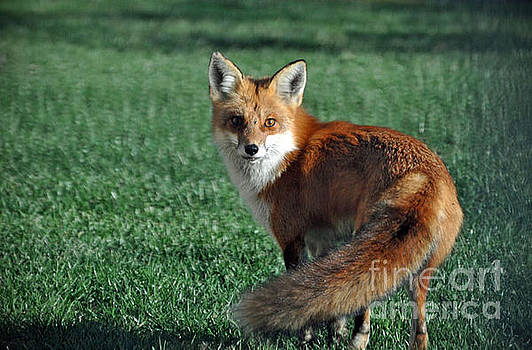 Red fox  by Maureen Cavanaugh Berry