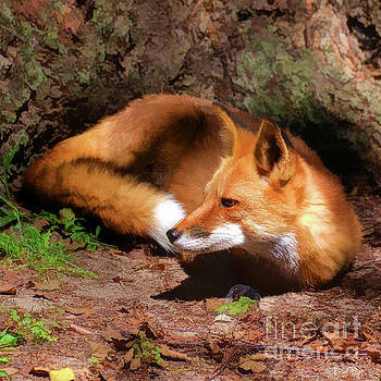 Red Fox Resting Square by Kathy Baccari