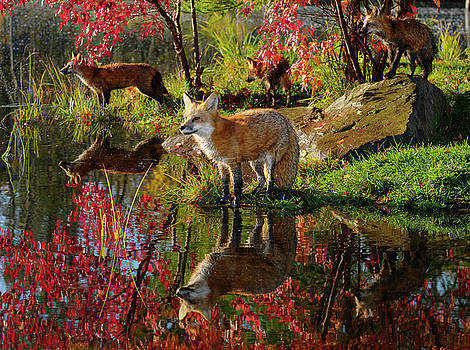 Reimar Gaertner - Red Foxes at waters edge looking across a river in Autumn with r