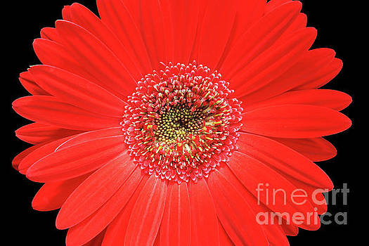 Red Gerber Daisy #3 by Judy Whitton